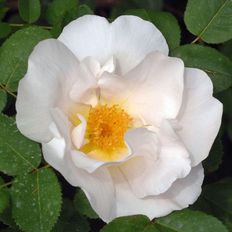 nevada hybrid moyesii rose