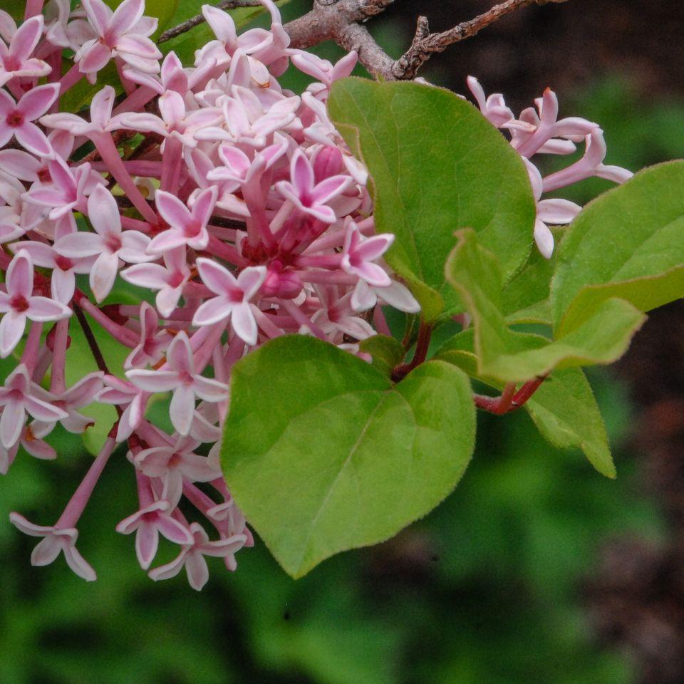 Syringa reticulata ssp. pekinensis 'Zhang Zhiming'