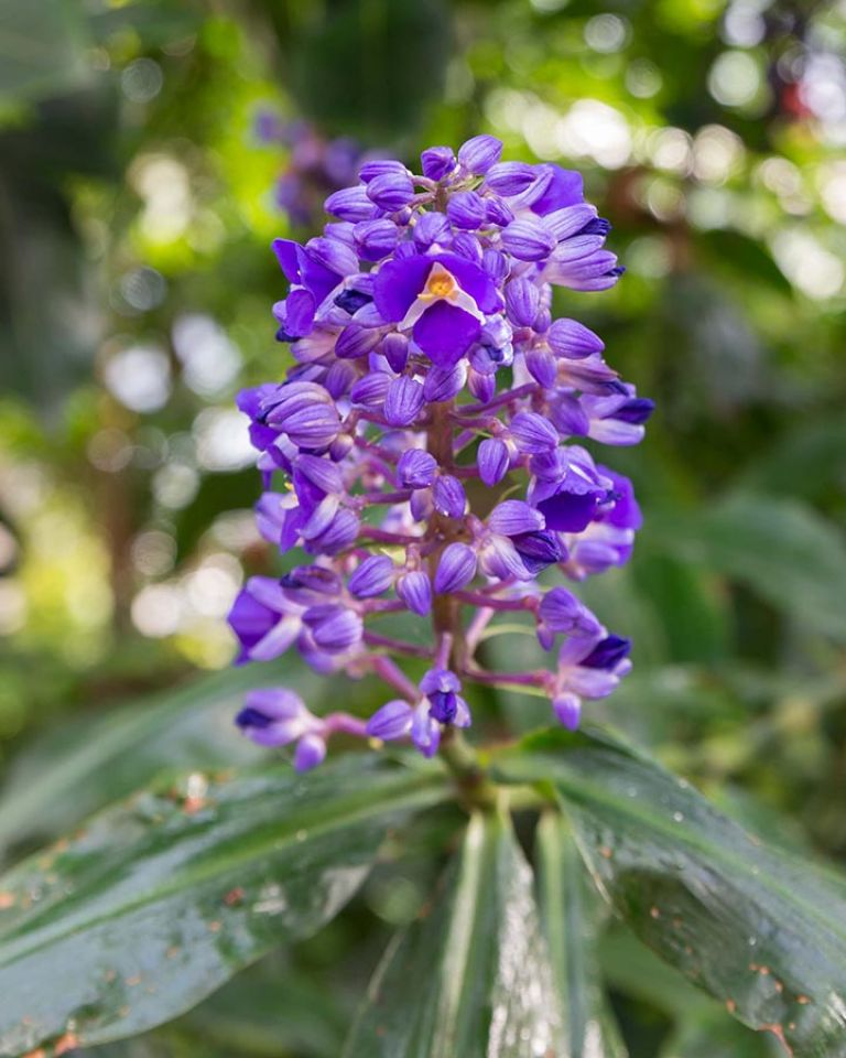 Blue ginger Dichorisandra thyrsiflora