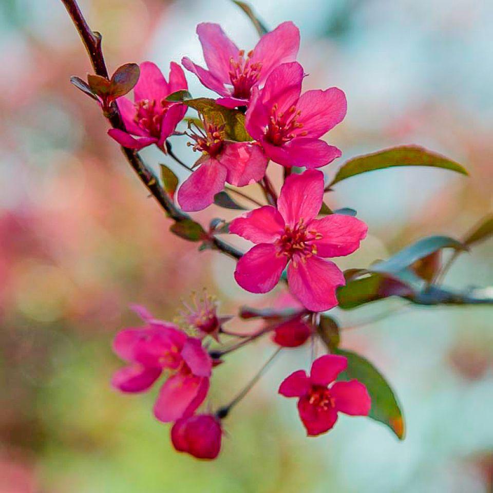 PHOTO: Crabapple Flower